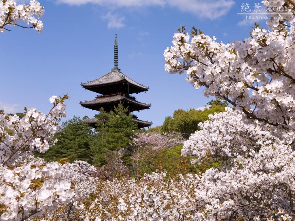 仁和寺(桜)