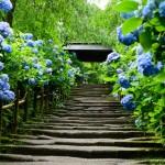 鎌倉のあじさいは平日がオススメ?参拝しやすい服装と開花情報まとめ
