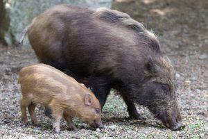 boar023s