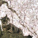 2017年桜の開花予想や満開はいつ?冬が長引くと4月の入学式で咲いてる?
